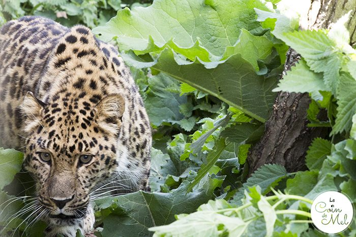 Amur Leopard - A photo shoot at the Cat Survival Trust (in Hertfordshire) is an incredible experience! Check these tips and tricks for photographing big cats.