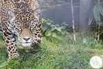 Taking Photos of Big Cats at the Cat Survival Trust