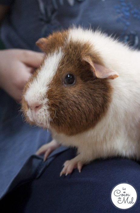 How to Make the Most of your Day at Willows Activity Farm - Guinea Pigs