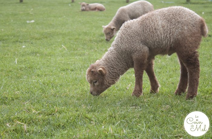 How to Make the Most of your Day at Willows Activity Farm - Lamb