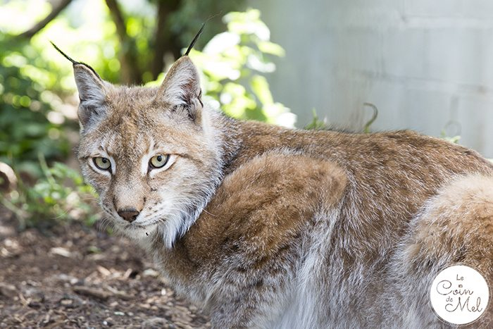 Eurasian Lynx - A photo shoot at the Cat Survival Trust (in Hertfordshire) is an incredible experience! Check these tips and tricks for photographing big cats.