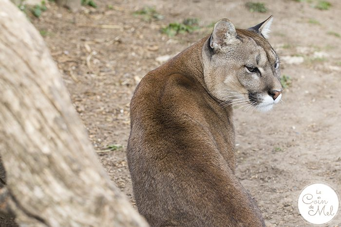 Puma - A photo shoot at the Cat Survival Trust(in Hertfordshire) is an incredible experience! Check these tips and tricks for photographing big cats.