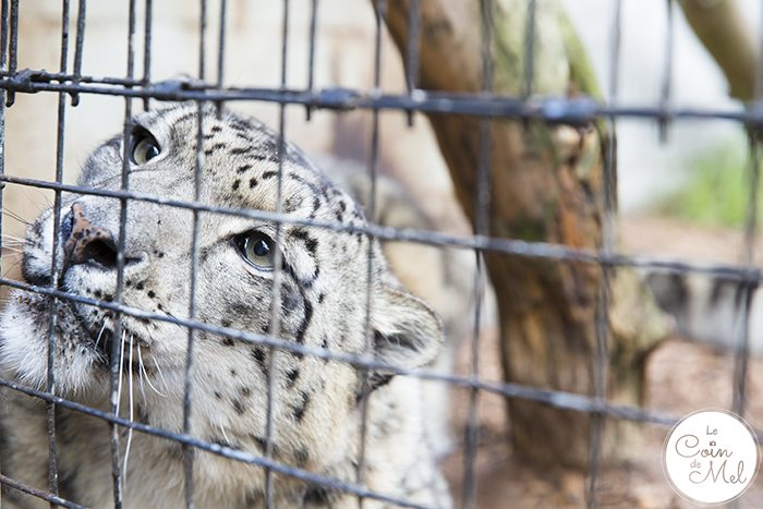 A photo shoot at the Cat Survival Trust(in Hertfordshire) is an incredible experience! Check these tips and tricks for photographing big cats. Snow Leopard