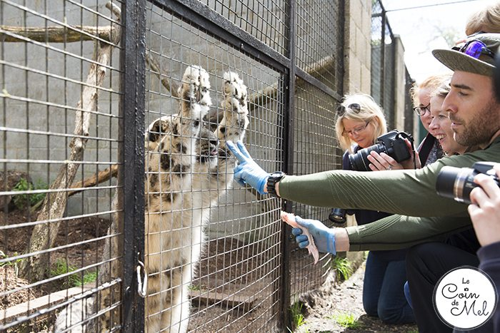 Hungry Snow Leopard - A photo shoot at the Cat Survival Trust (in Hertfordshire) is an incredible experience! Check these tips and tricks for photographing big cats.