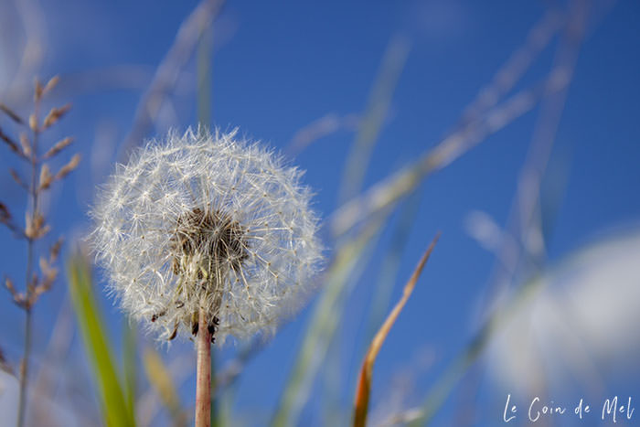 A dandelion to the left, with grass and the blue sky blurred in the background.